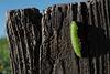 Caterpillar, enjoying winter sunshine in Penedos!