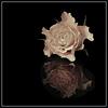 Rose Reflection 2