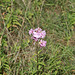 Beautiful Wild Soapweed (Saponaria officinalis) A01-01