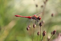 Sympetrum rouge-sang (Sympetrum sanguineum)