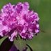 flower azalea DSC 0777