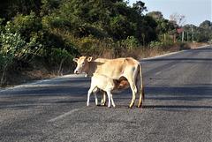 Pause lait / Milk break (Laos)