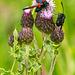 Five Spot Burnet Moths 01