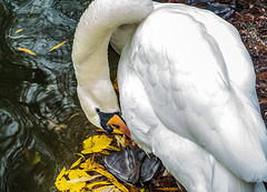 The Swan That Lives In The Park