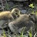 goslings DSC0876