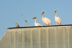 Namibia, Walvis Bay, Three Pelicans Waiting for A Treat