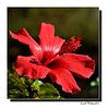 Souvenir d'hibiscus !