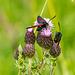 Five Spot Burnet Moths 02