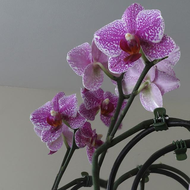 OrchidDC IMG 2041