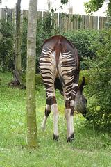 Okapi im Frankfurter Zoo