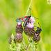 Five Spot Burnet Moths 03