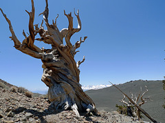 USA - California, Ancient Bristlecone Pine Forest