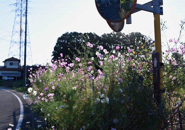 Cosmos by the road