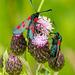 Five Spot Burnet Moths 04