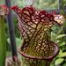 Insectivorous I