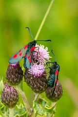 Five Spot Burnet Moths 05