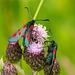 Five Spot Burnet Moths 05