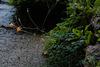 Aquilegia canadensis, Ranunculales, Zion Natural Park USA
