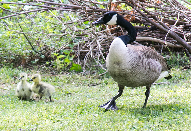 Canade goose and goslings
