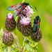 Five Spot Burnet Moths 06