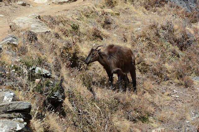 Khumbu, Himalayan Tahr