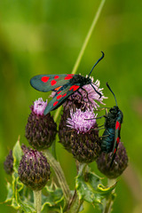Five Spot Burnet Moths 07
