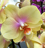 O comme ORCHIDEE
