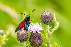 Five Spot Burnet Moth 01