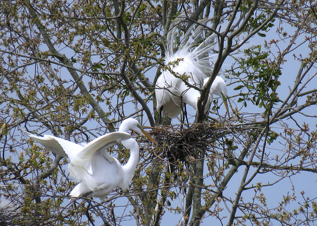 Great Egrets at their Nests