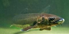 Acipenser sturio; Aquarium Helgoland