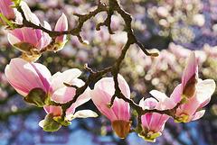 Im Kaisergärtchen blühen die Magnolien - The magnolias are blooming again
