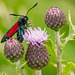 Five Spot Burnet Moth 02