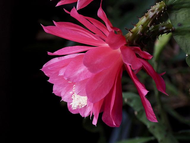 Epiphyllum (unknown)