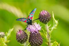 Five Spot Burnet Moth 03