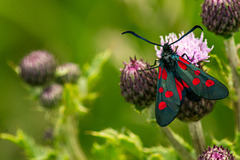 Five Spot Burnet Moth 04