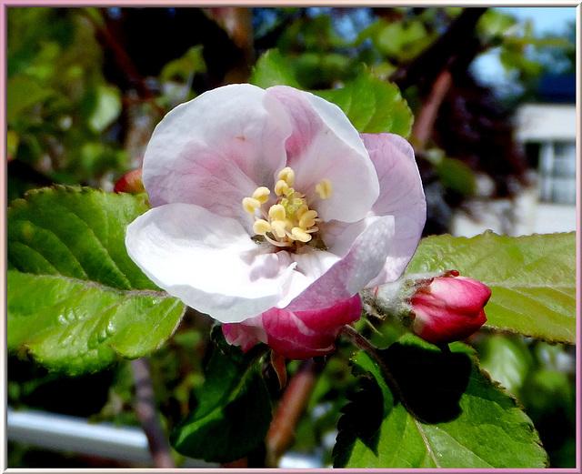 Apfelblüte. ©UdoSm