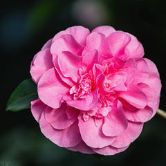 Camellia japonica (PiP)