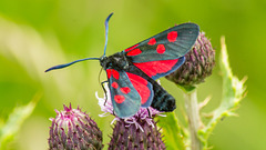 Five Spot Burnet Moth 05