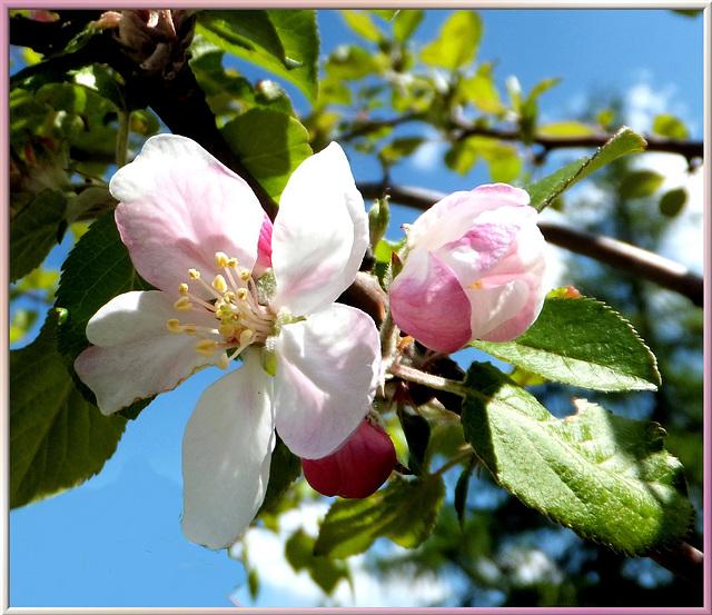 Apfelblüten. Apple blossoms. ©UdoSm