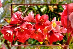 Japanische Zierquitte (Chaenomeles japonica) ©UdoSm