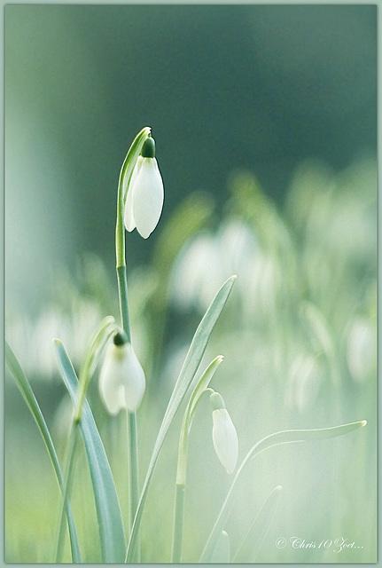Little Snowdrops...