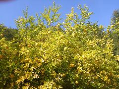 Zitronenbaum im Elbtal bei Wehlen