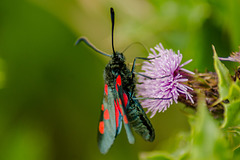 Five Spot Burnet Moth 07