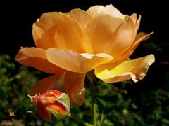 Si votre coeur est une rose, votre bouche dira des mots parfumés.