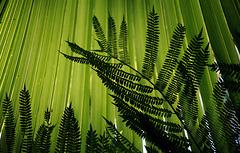 Le rideau de vert