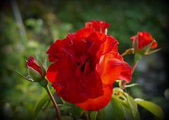 Amour ... Le nom de la rose.