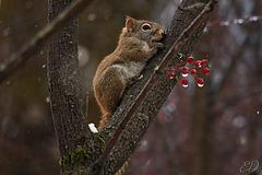 Ecureuil et fruits rouges