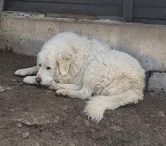 Patou au repos / Resting sheepdog