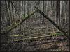 in a deep alder forest