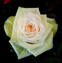 Une rose pour vous / A rose for you!